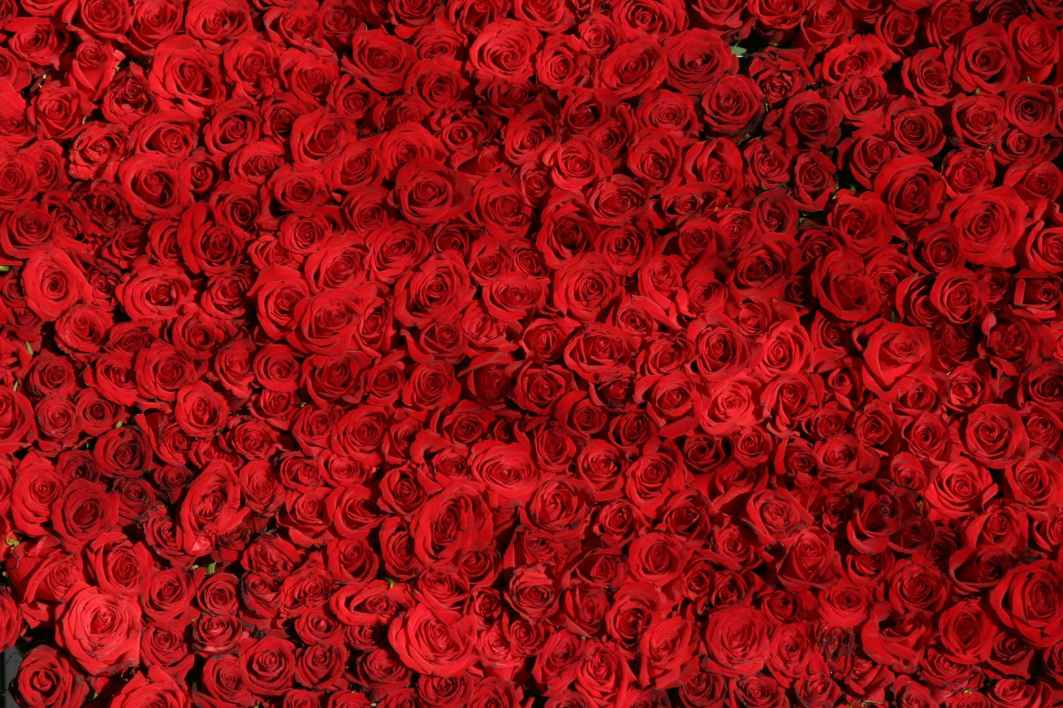 rose-roses-flowers-red-54320.jpeg
