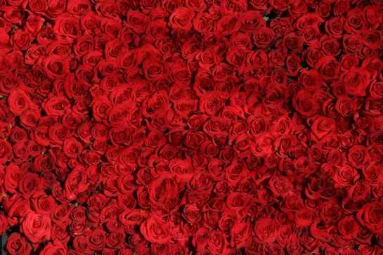 rose-roses-flowers-red-54320.jpeg